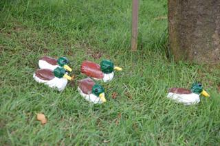 かわいい鴨たち