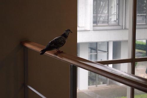 は、鳩が室内に! (κにて)