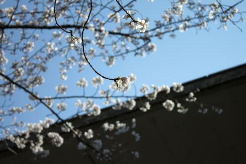 浮かび上がる桜