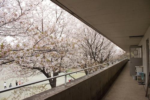 桜! 桜!! 桜!!! SFCの桜事情