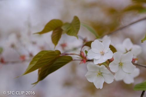 かよわい春