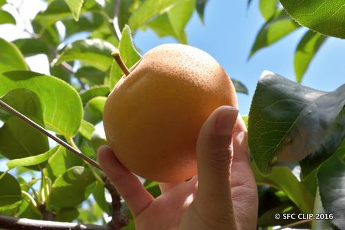 「豊水」や「幸水」といった旬の梨も栽培されている