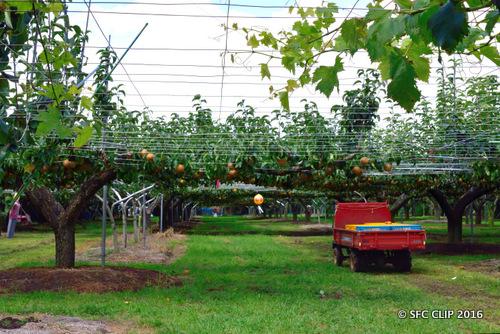 いさわ果樹園の梨農園